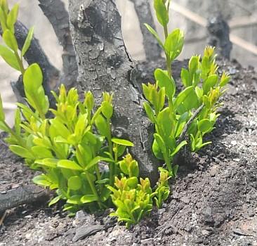 Marmaris ve Datça'da doğa yeşilleniyor