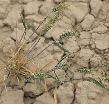 Kanada'da sıcaklar tarımsal afete neden oldu