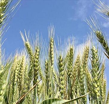 Tohumluk üretim ve pazarlama hakkı ihale ilanı açıldı
