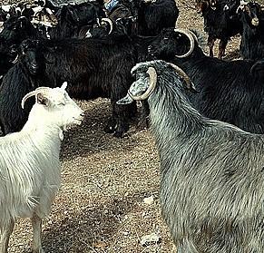 Şırnak'ta kurtların saldırısı sonucu 25 keçi telef oldu