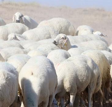 Ağıla kurt girdi! 40 koyun telef oldu