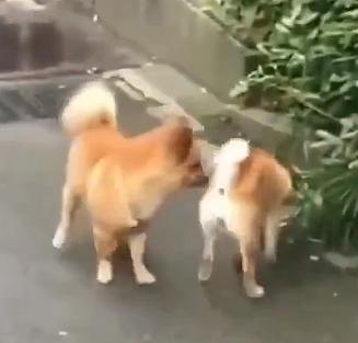 Köpeklerin bölge savaşı
