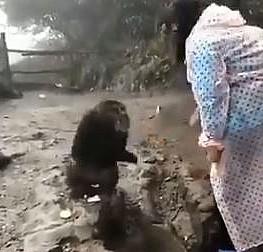 Israrla bisküvi vermek isteyen kadına maymunun tepkisi