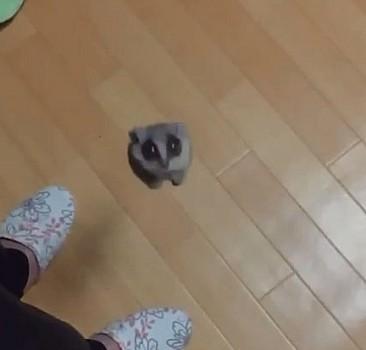 Uçan rakun!